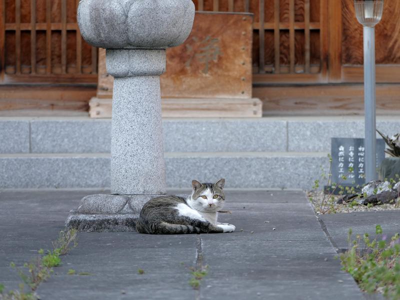 お寺参道石畳とキジ白猫2