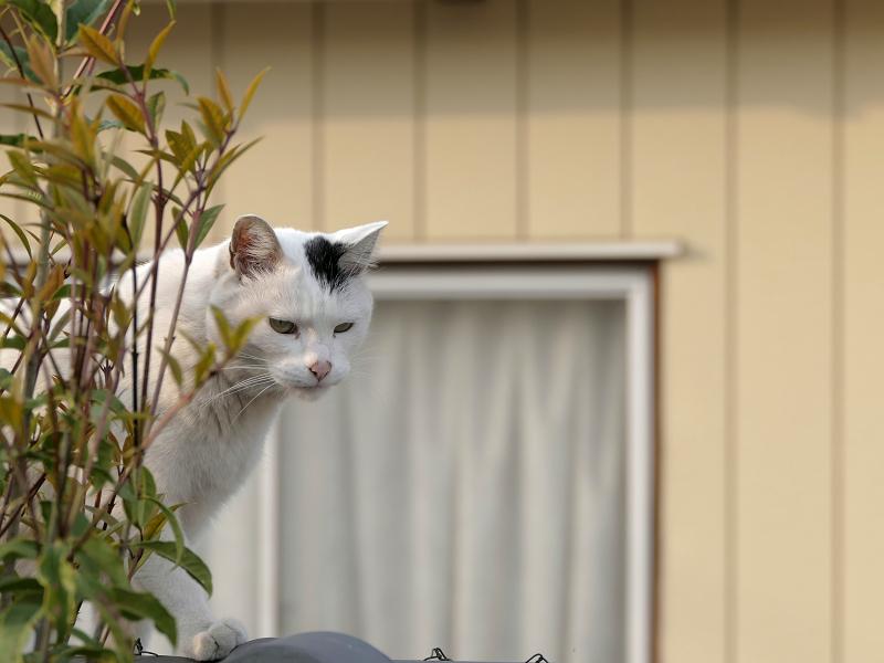 墓苑の塀を歩く白黒猫2