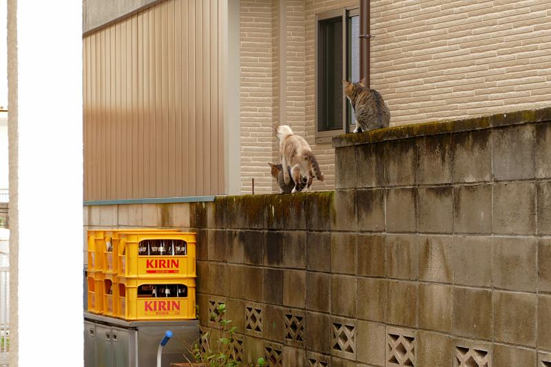 ブロック塀の母さんとキジ系仔猫2