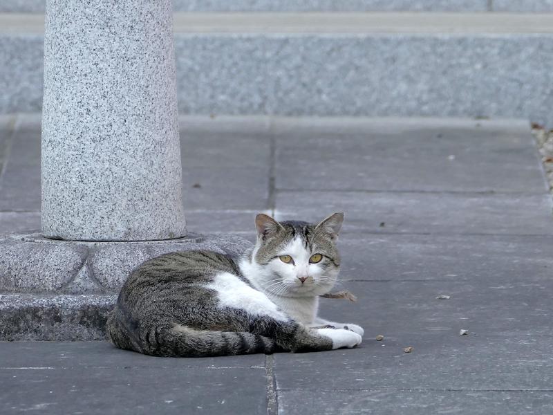 お寺参道石畳とキジ白猫3