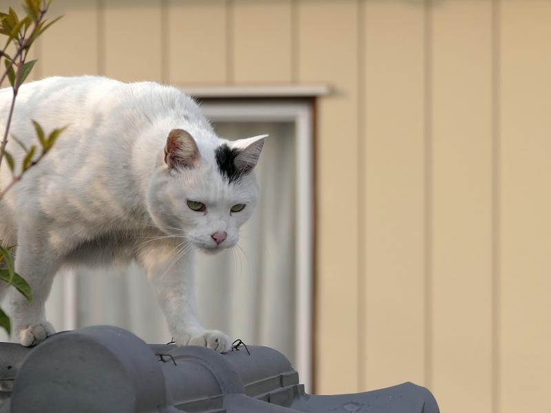 墓苑の塀を歩く白黒猫3