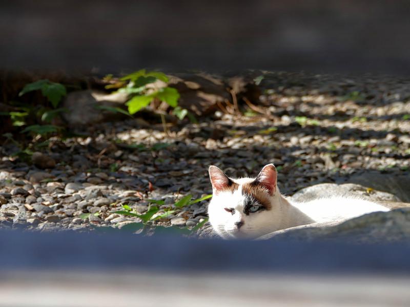 柵越しの洋風猫3