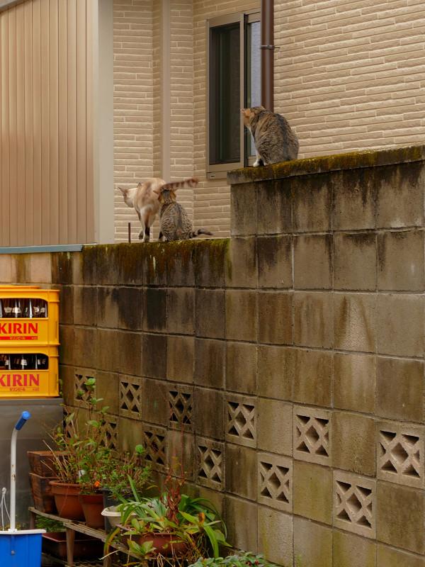 ブロック塀の母さんとキジ系仔猫3