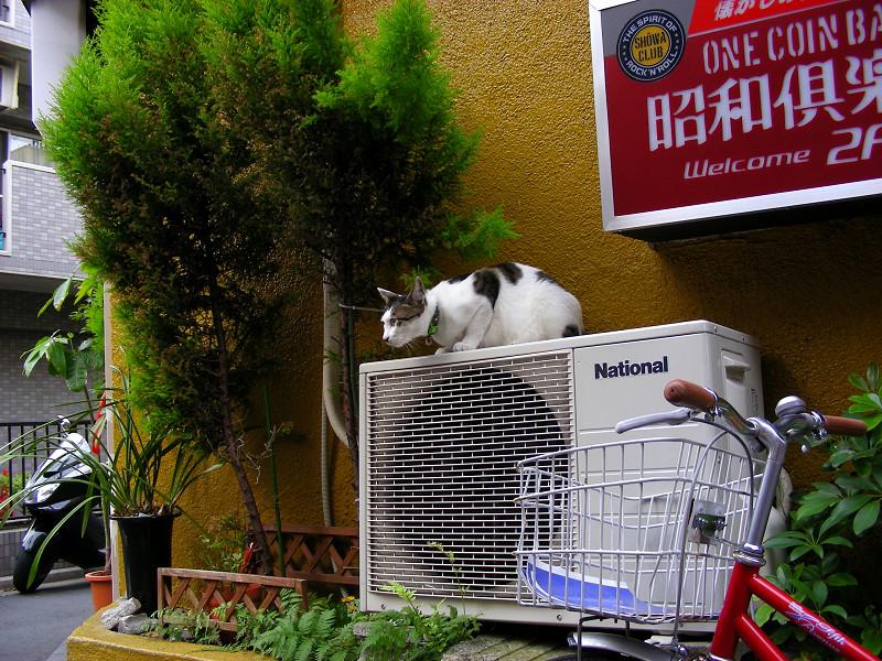 室外機と看板の下の白キジ猫1