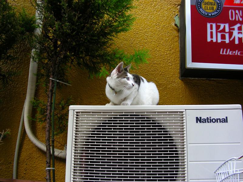 室外機と看板の下の白キジ猫2