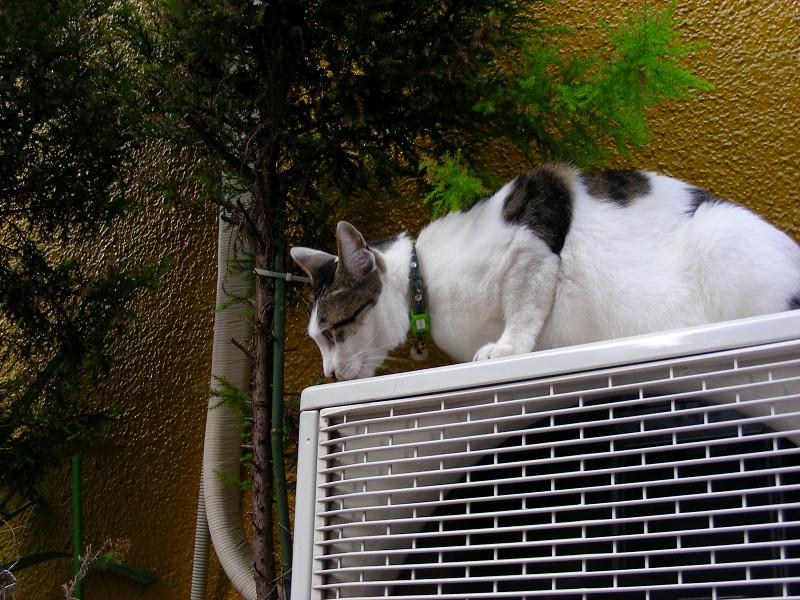 室外機と看板の下の白キジ猫3