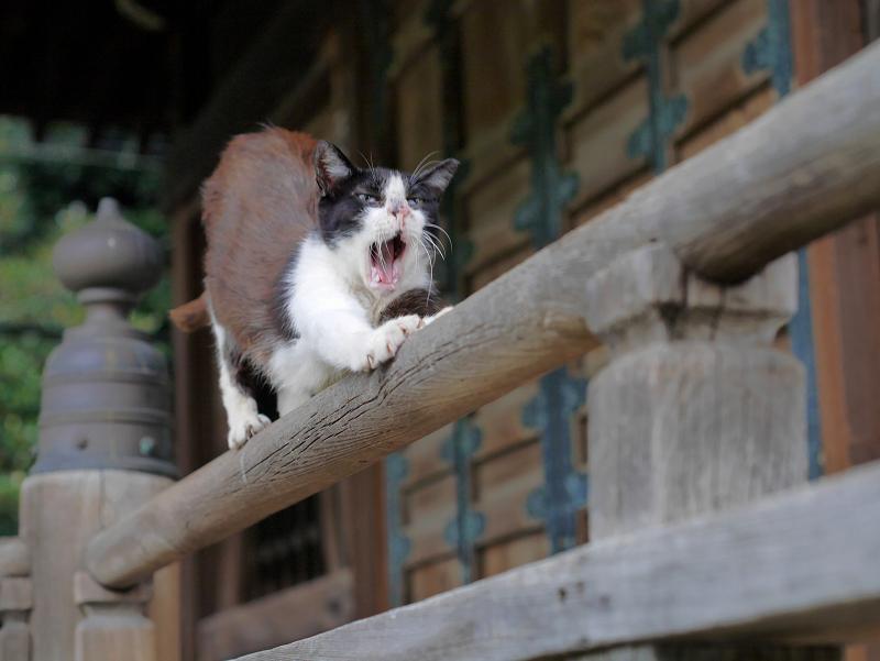欄干上の黒白猫1