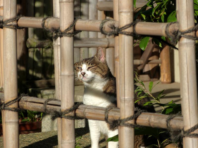 竹格子越しにアクビをするキジ白猫1