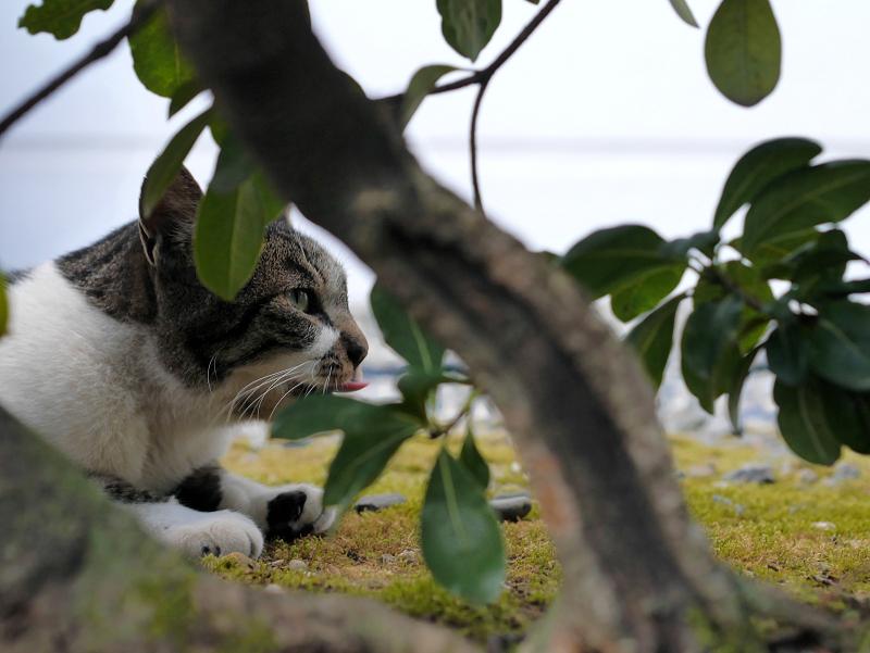 低木の向こう側のキジ白猫1