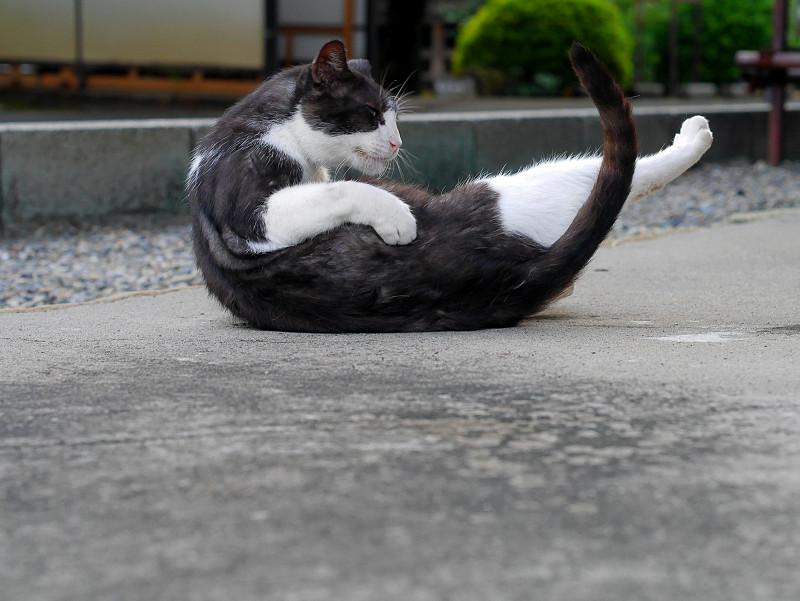 境内で転がる薄黒白猫1