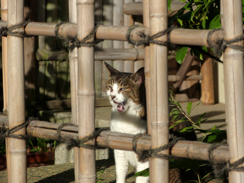 竹格子越しにアクビをするキジ白猫2