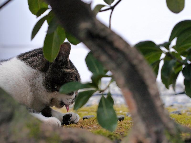 低木の向こう側のキジ白猫2