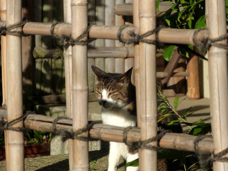 竹格子越しにアクビをするキジ白猫3