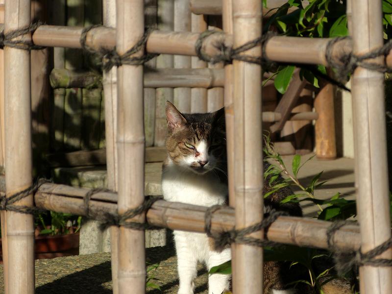 竹格子越しにアクビをするキジ白猫4
