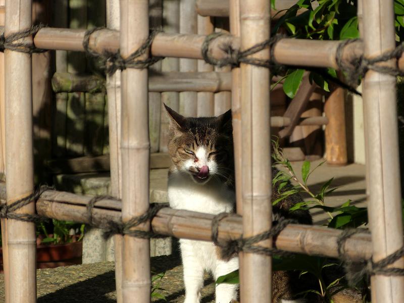 竹格子越しにアクビをするキジ白猫5