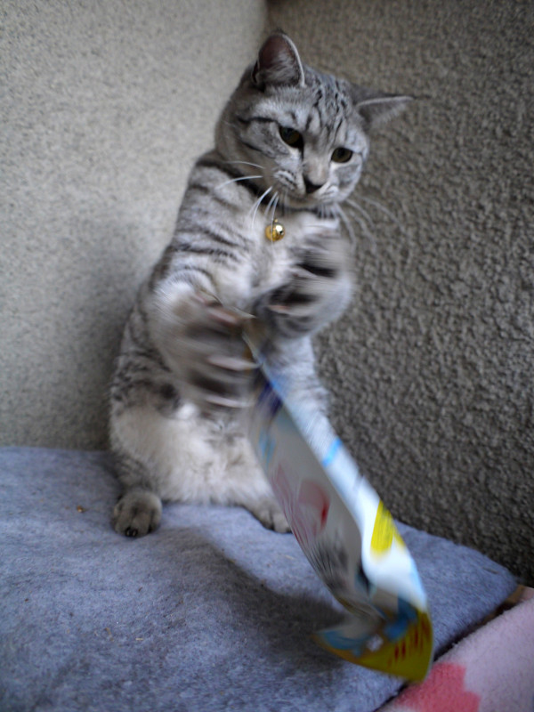 フード遊びのサバトラ猫1