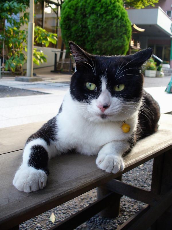 ベンチに乗ってる黒白猫1