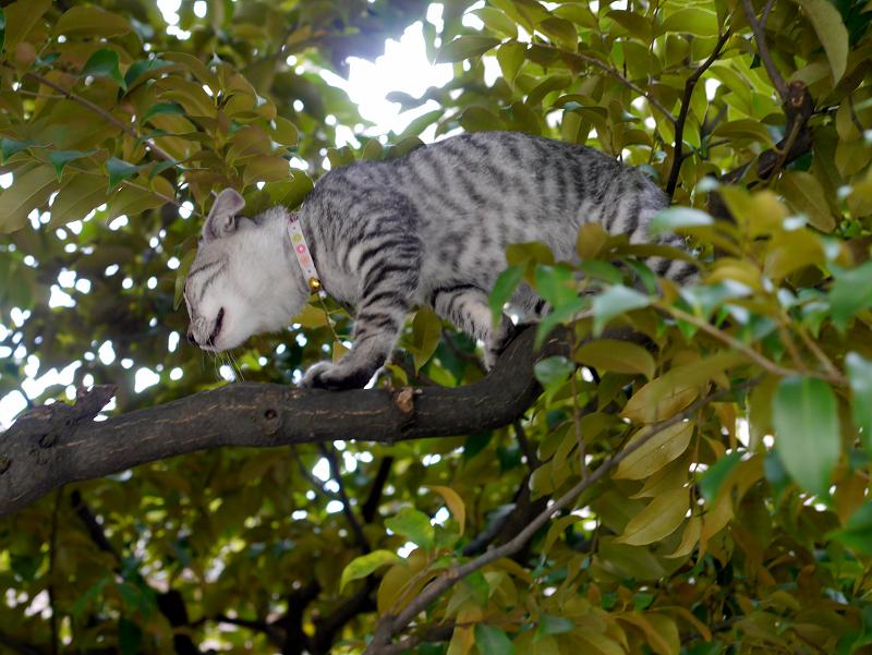 クスノキ上のサバトラ仔猫1