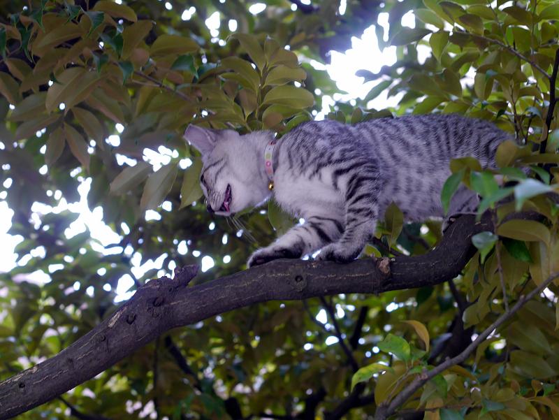 クスノキ上のサバトラ仔猫2