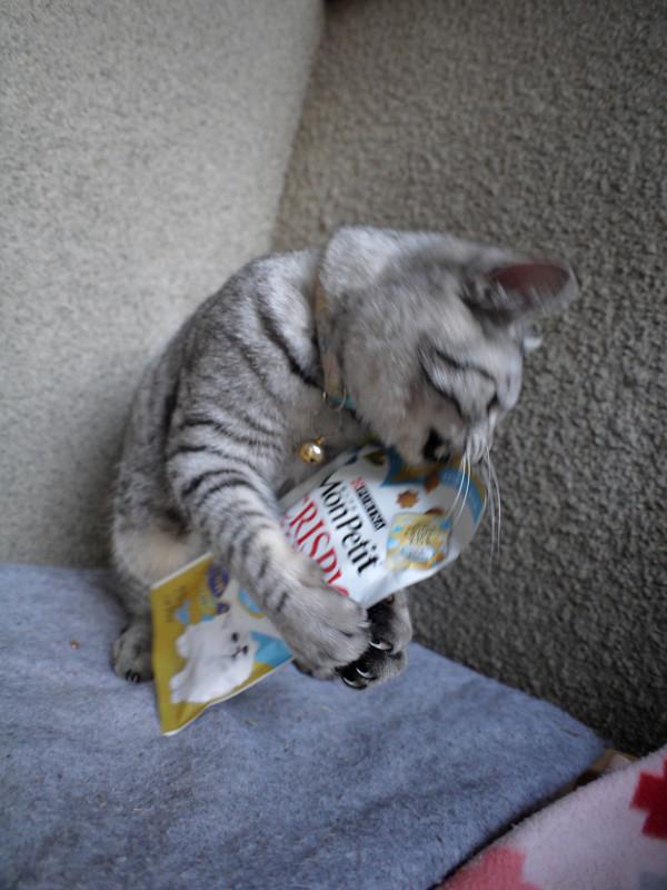 フード遊びのサバトラ猫3