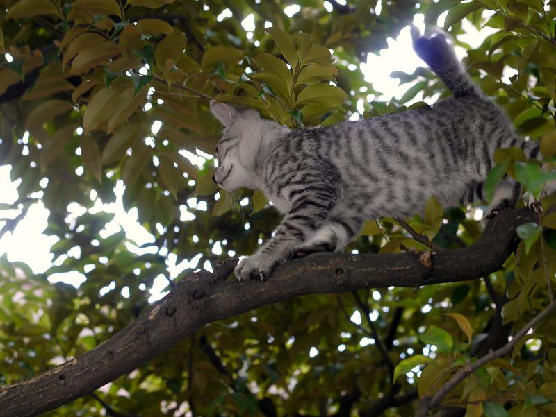 クスノキ上のサバトラ仔猫3