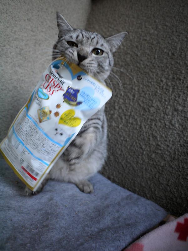 フード遊びのサバトラ猫4