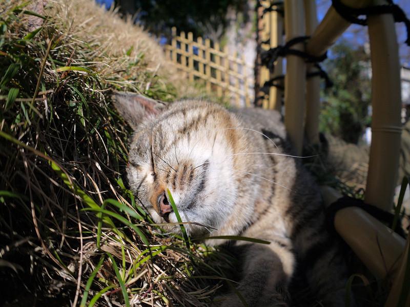 草むらで寝入るキジトラ猫1
