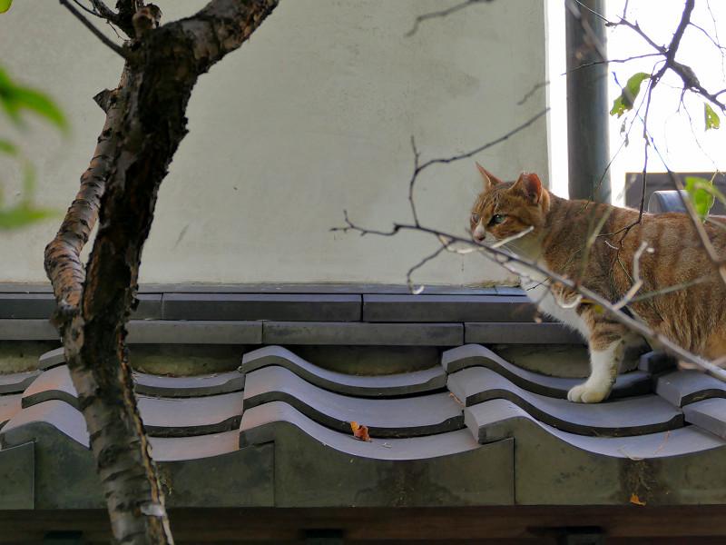 瓦小屋根のキジ白猫1