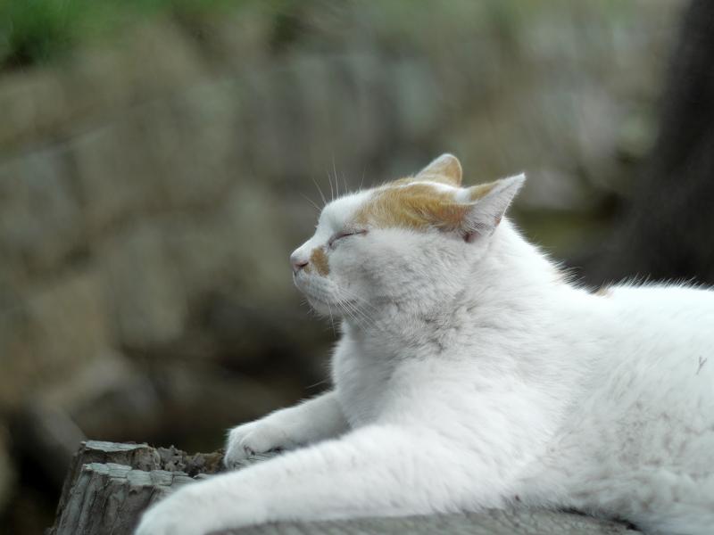 切り株に腹ばう白茶猫1