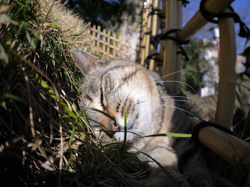 草むらで寝入るキジトラ猫2