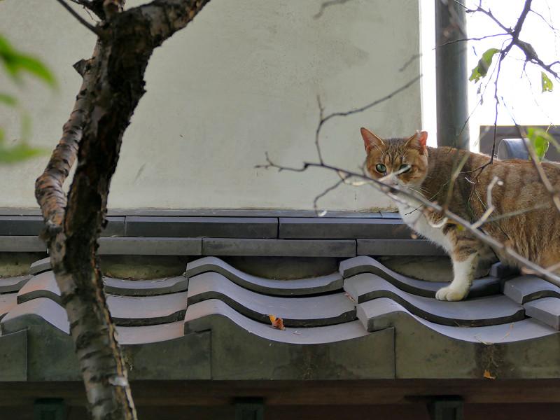瓦小屋根のキジ白猫2