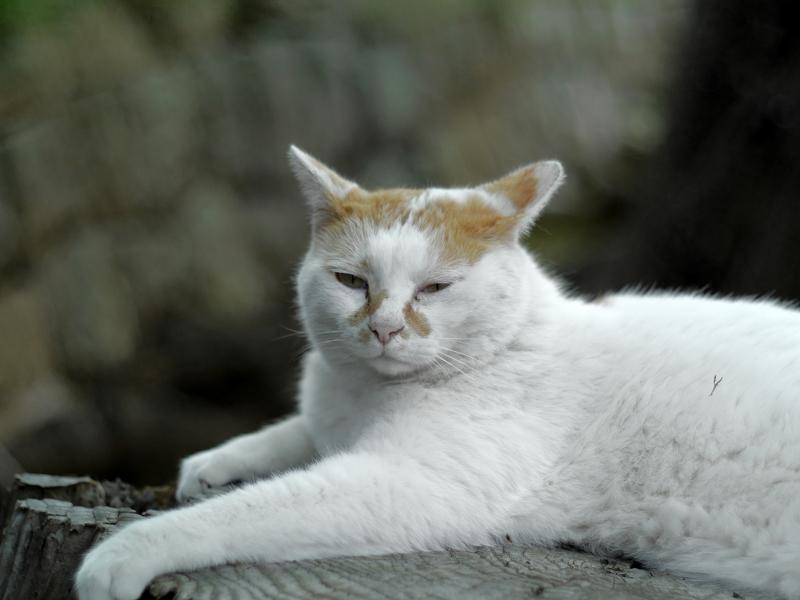 切り株に腹ばう白茶猫2