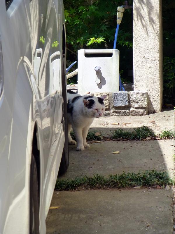 駐車場の白黒猫3