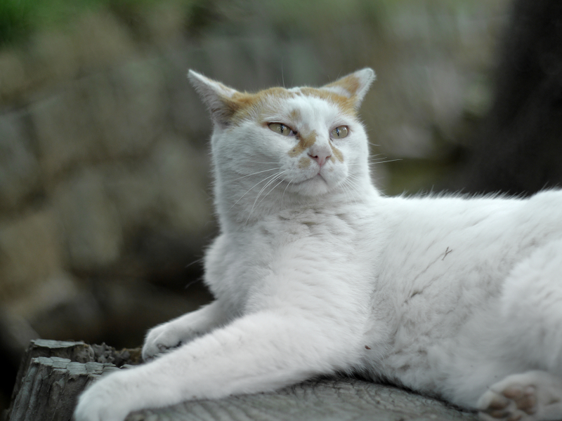 切り株に腹ばう白茶猫3
