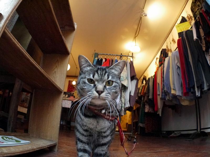 古着屋さんのキジトラ猫