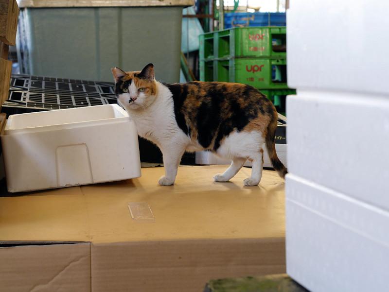 台に乗った三毛猫
