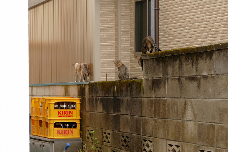 ブロック塀を歩き去る親子猫1