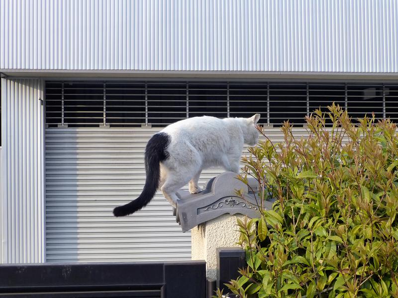 塀瓦上の白黒猫1