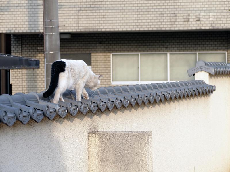 塀瓦上の白黒猫2