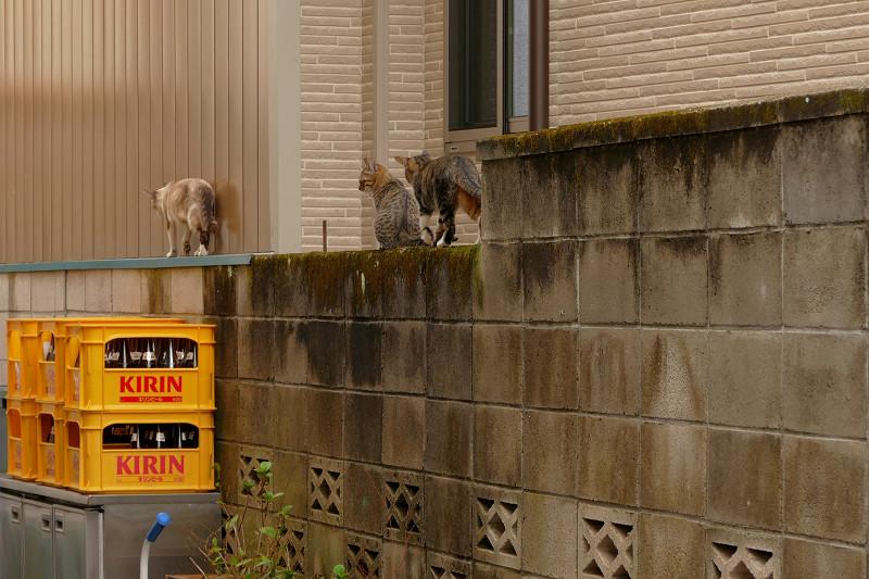 ブロック塀を歩き去る親子猫2