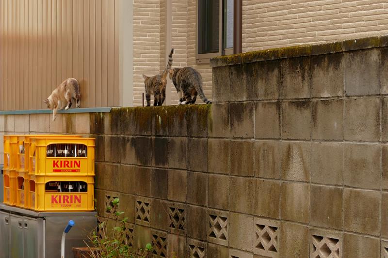 ブロック塀を歩き去る親子猫3