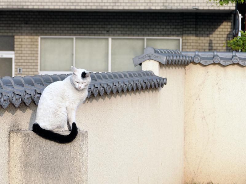 塀瓦上の白黒猫4