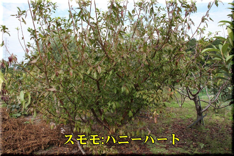 1sumomo190930.jpg