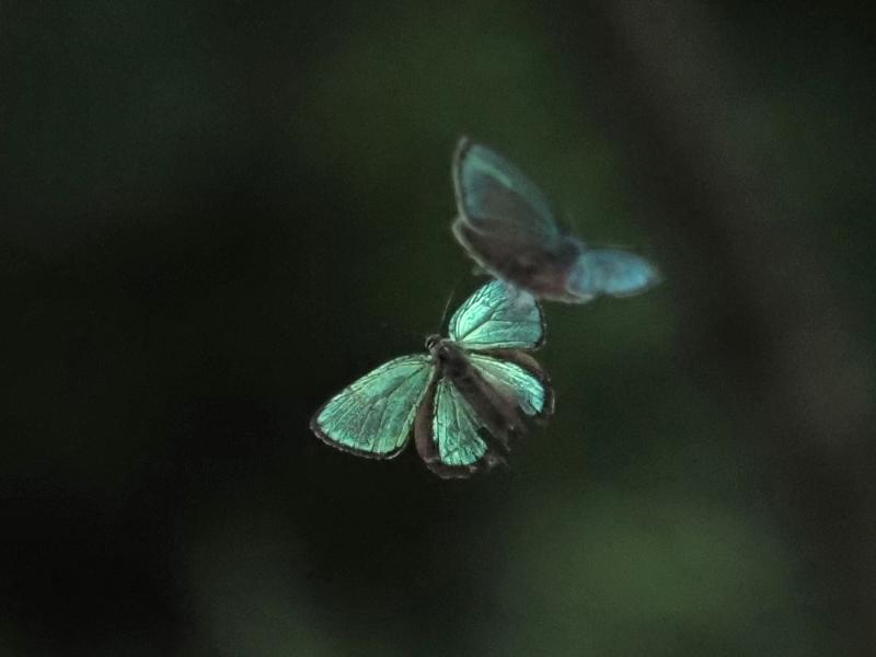 メスアカミドリシジミ♂卍-2019-07-02AY-M1022830