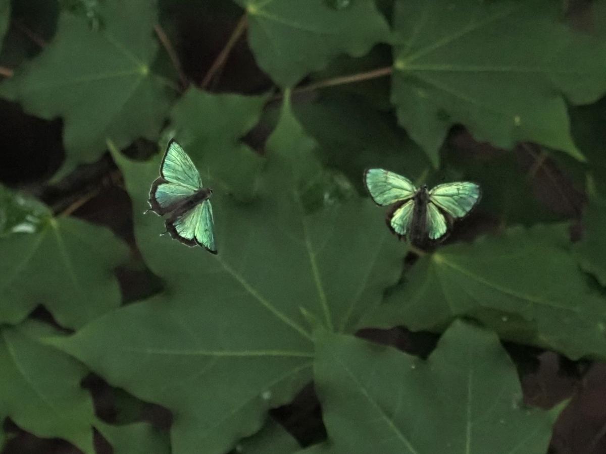 メスアカミドリシジミ♂卍-2019-07-02AY-M1022953