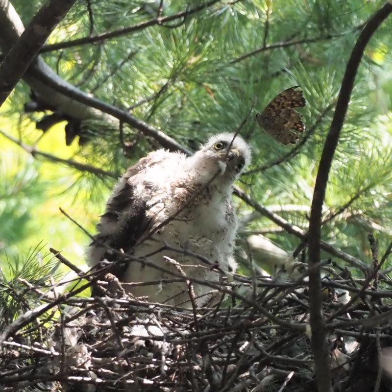 ハイタカ幼鳥-2019-07-10KT-M1101650