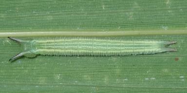 e-クロヒカゲ幼虫16mm-2019-08-07mk-Tg570173