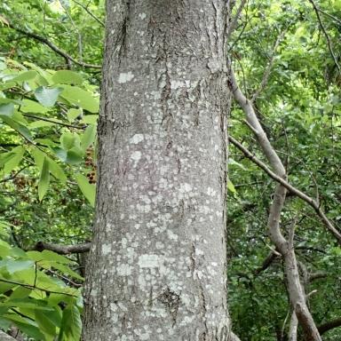 f-シウリザクラ-2019-08-20森林総研-Tg500252
