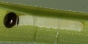e-コキマダラセセリ初齢幼虫3_4mm-2019-08-01-P1400687