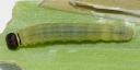 e-コキマダラセセリ3齢9mm-2019-08-15-P1400740